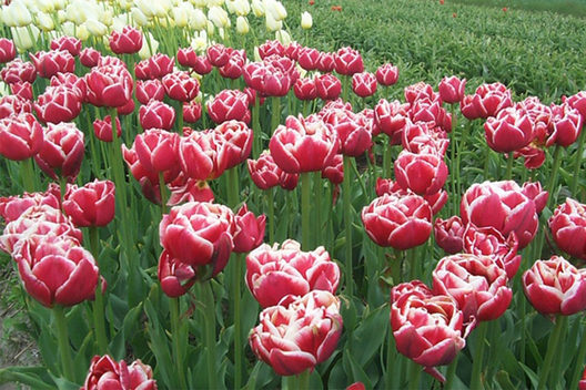 Field of Maria Montessori tulips
